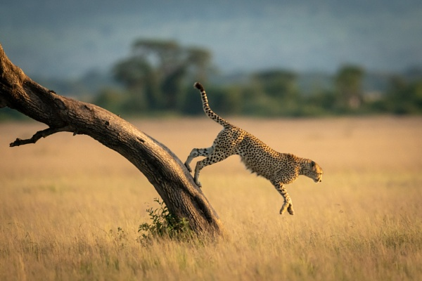 Cheetah jumps down from tree towards grass by NickDale