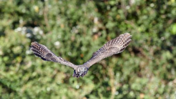 Barking Owl by Lance_B