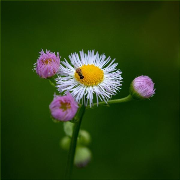 Daisy Fleabane by taggart
