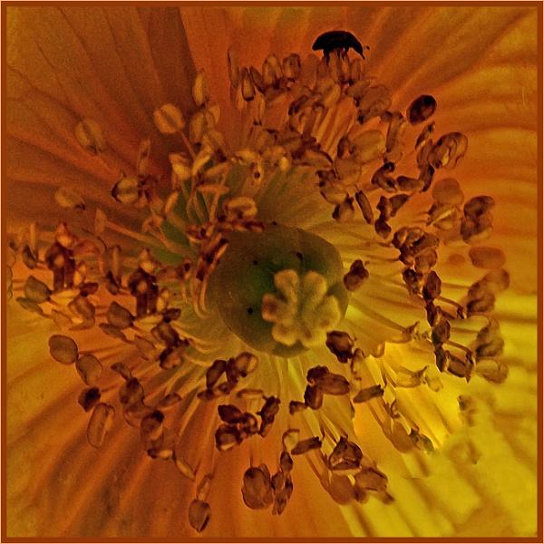 beetle finds poppy... by estonian