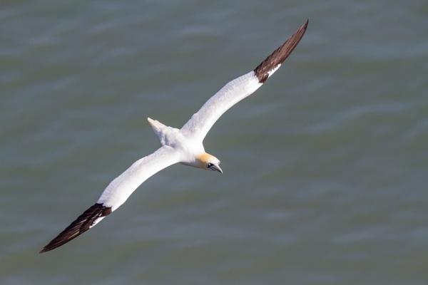 Gannet in flight by Bill_C