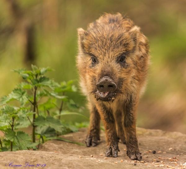 Wild Boar Piglet by cozmic