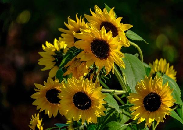 Sunflowers by Prizm