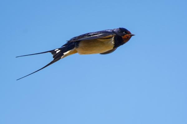 Swallow by Wanilson