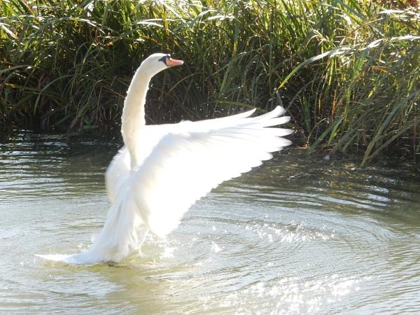 Swan by kenstan