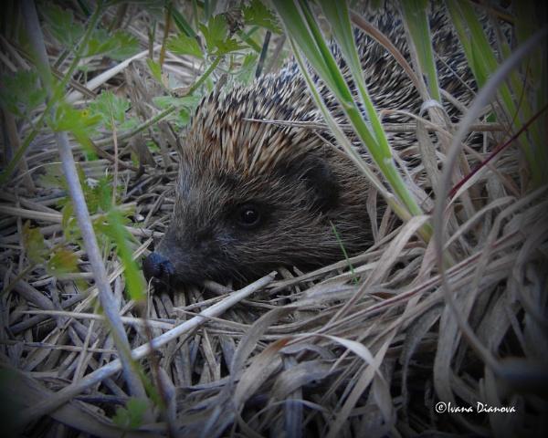 European hedgehog by idiabb