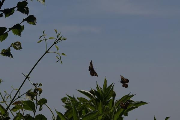 Butterfly dance by frogs123