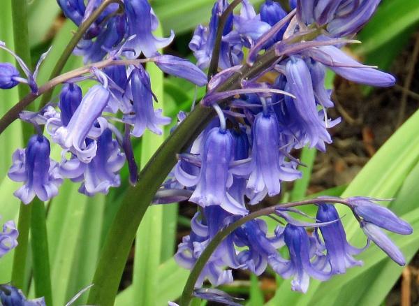 Blue Bells at Kew by newbe2
