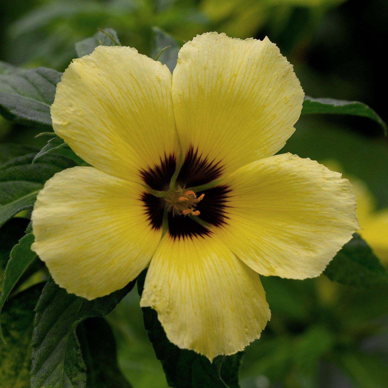 Tunera Flower