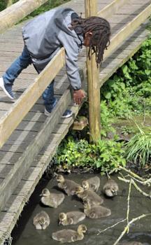Feeding the Goslings