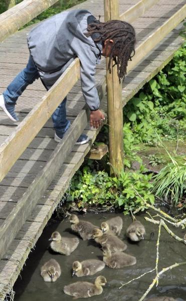 Feeding the Goslings by Janetdinah