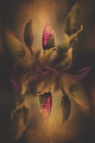 Magnolia by KristinaZvinakeviciute