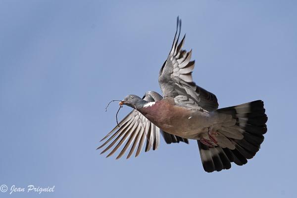 Pigeon vole by Jprigniel