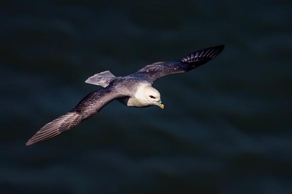 Northern Fulmar (Fulmarus glacialis) by DerekL
