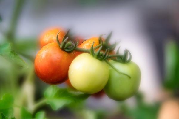 Tomato by Samiudin