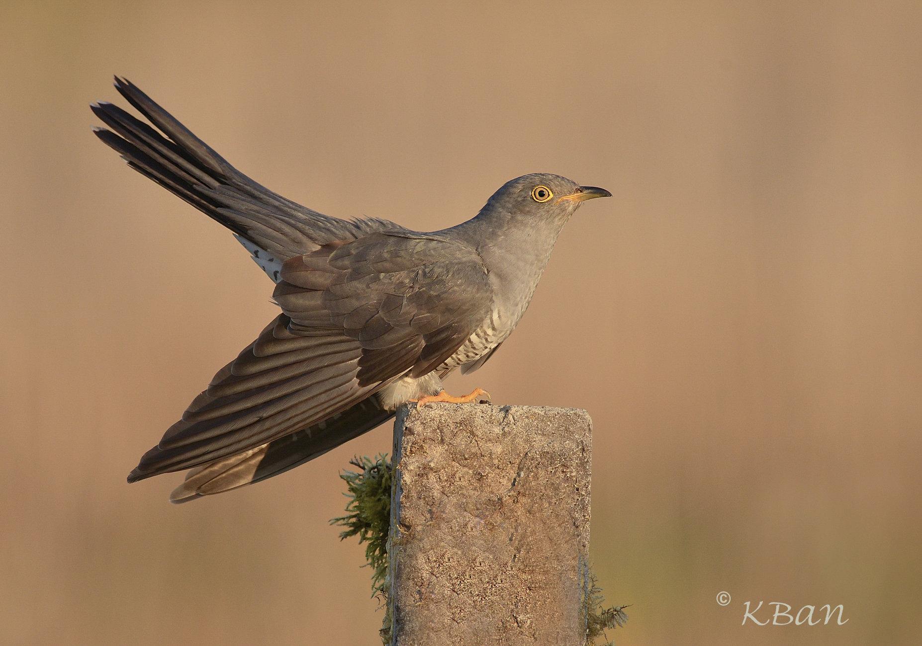 Cuckoo, Male