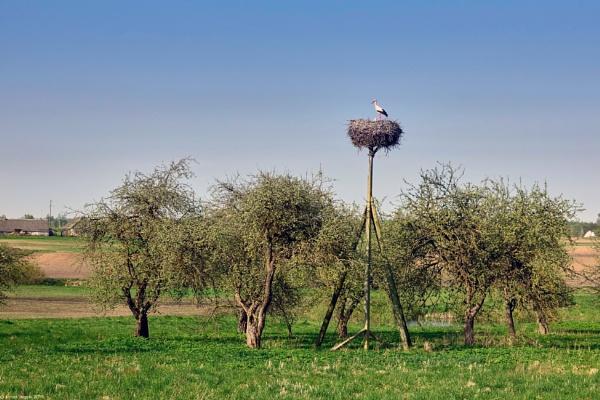 White stork in the nest by LotaLota