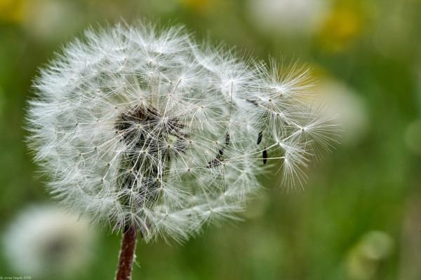 Common dandelion blowballs by LotaLota