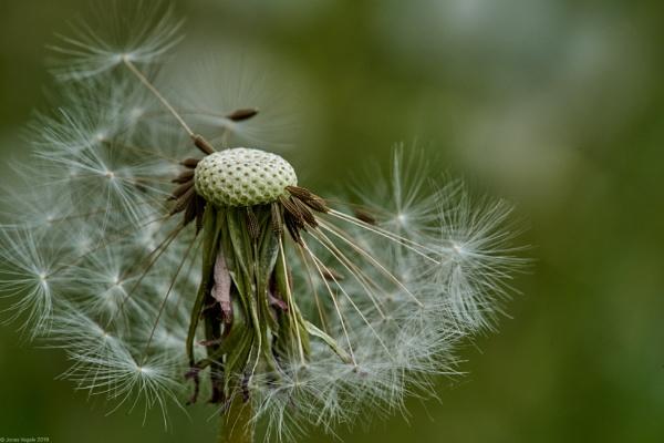 Common dandelion seedhead by LotaLota
