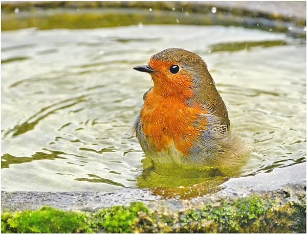 Robin/Birdbath. by bricurtis