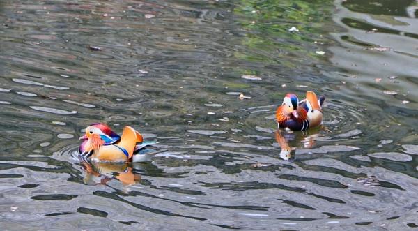 Mandarin Ducks by Ball82