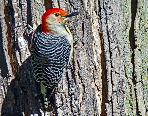 Red-Bellied Woodpecker by Eich