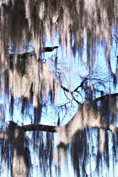 Spanish moss drapery against a blue sky by maureenwaite