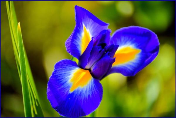 **Garden Iris** by Rock