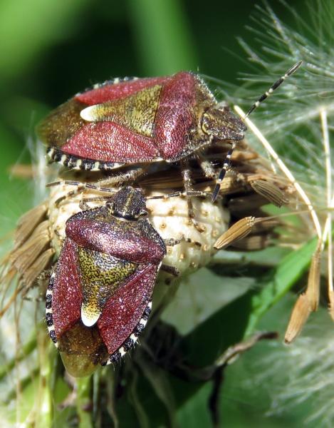 Sloe Bugs by KarenFB