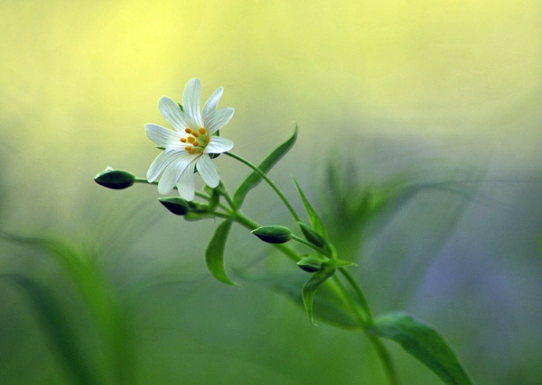 Stitchwort by viscostatic