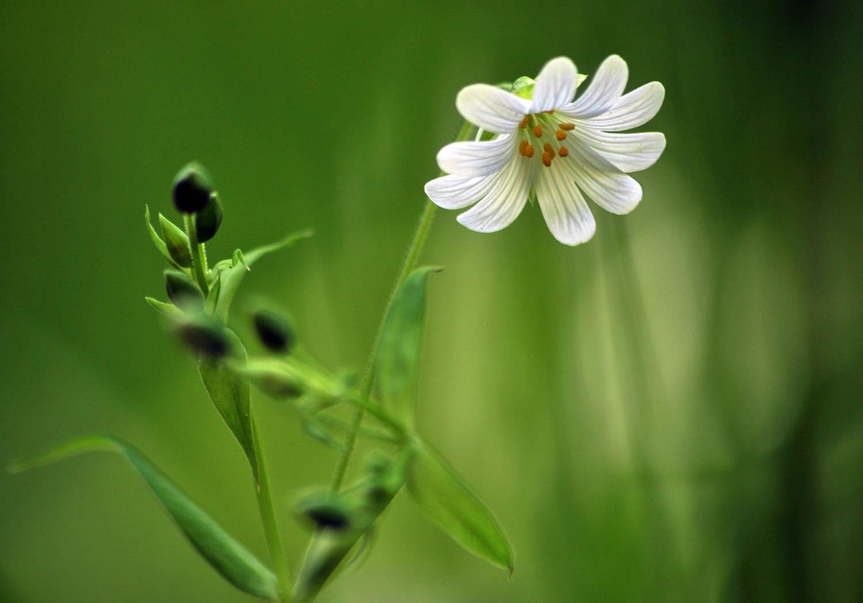 Stitchwort and Grasses