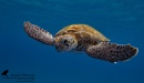 Green Sea Turtle by Austin_Thomas