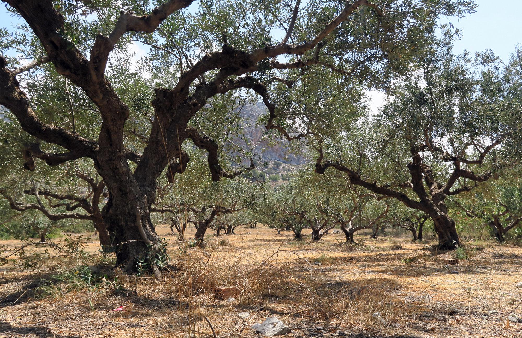 Cretian Olive Grove