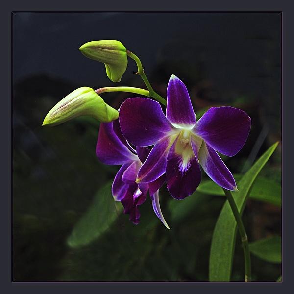 Orchids by prabhusinha