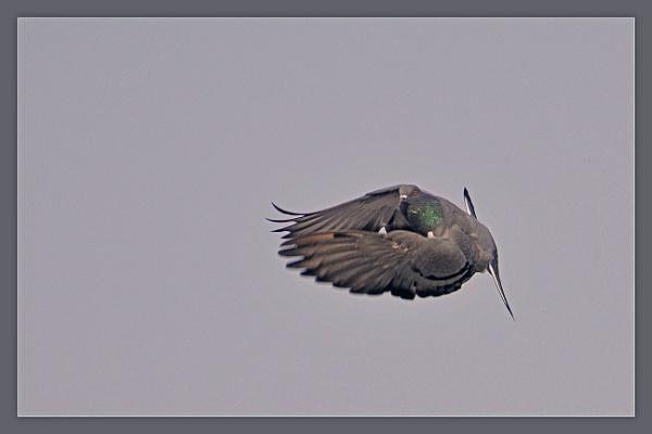 Pigeon in Flight by prabhusinha