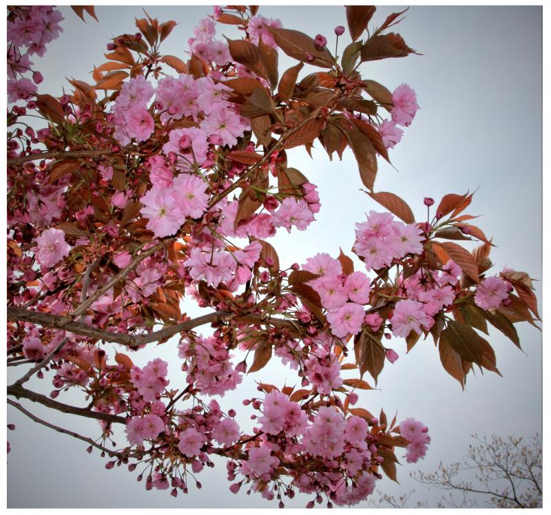 More cherry blossom