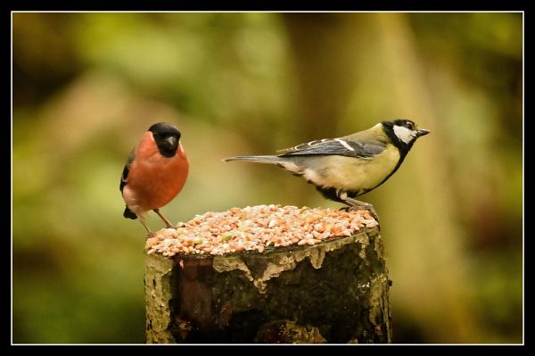 bullfinch & friend by ossca