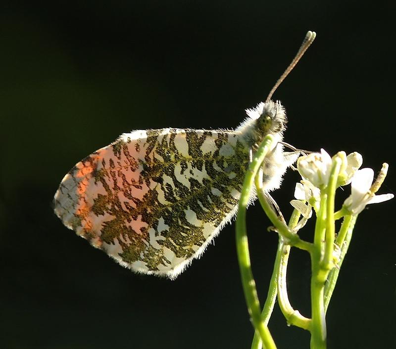 Orange tip resting