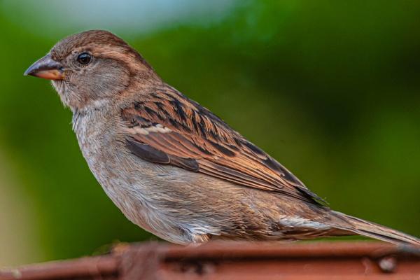 Hen Sparrow by redken60