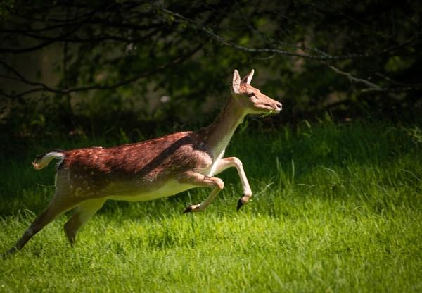 Leaping Deer by Craig75