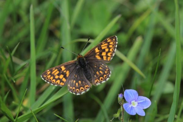 Duke Of Burgundy Butterfly by Alfies_Girl