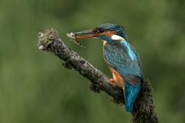 kingfisher female