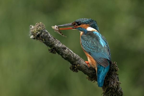 kingfisher female by AlanWillis