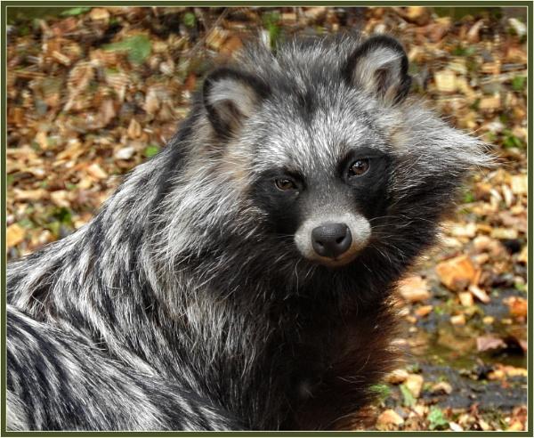 Raccoon Dog (3) by PhilT2