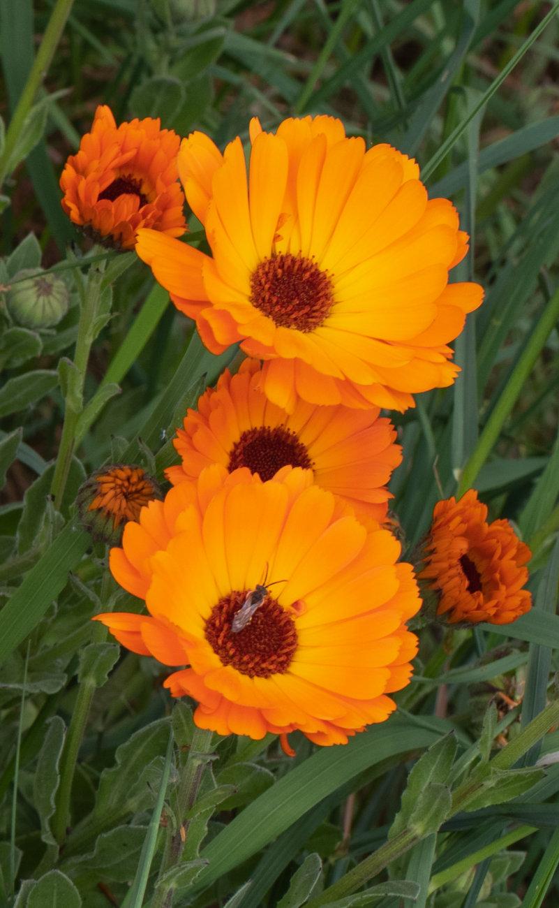 Wild marigolds