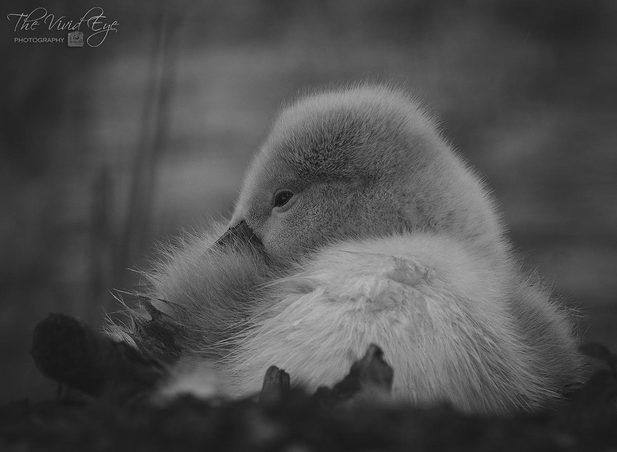 The Little Swan