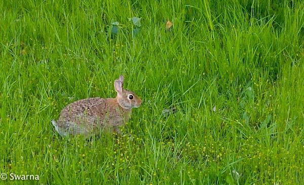 Bunny... by Swarnadip
