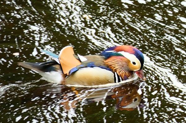 Mandarin Duck by antheap
