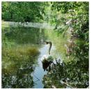 swan by wayne65
