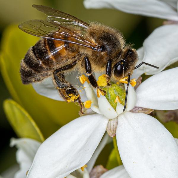 Bee by gouldii